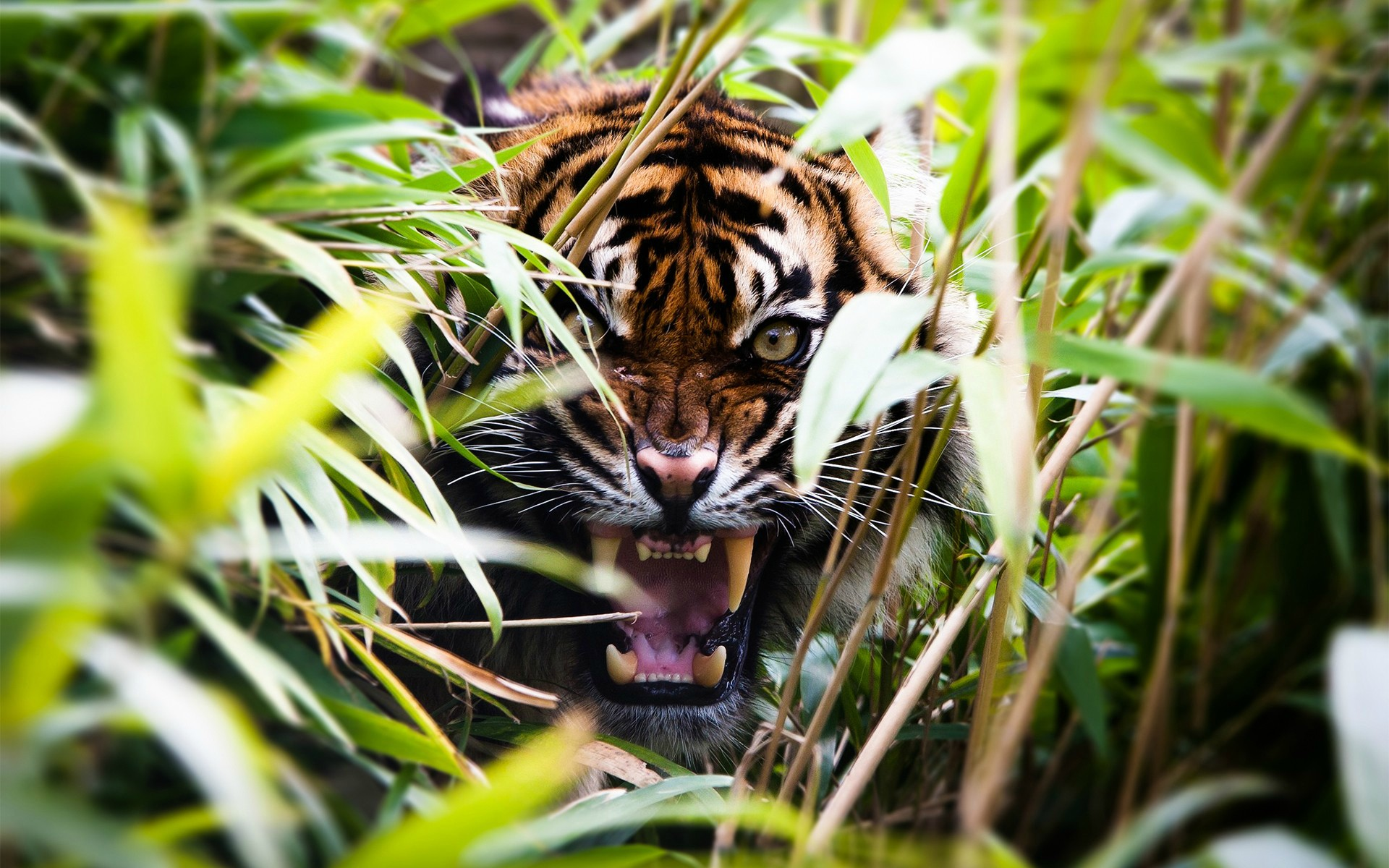 Tiger-Roar-HD-Wallpaper